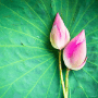 7  Great Ways To Use Pink Lotus Absolute Oil